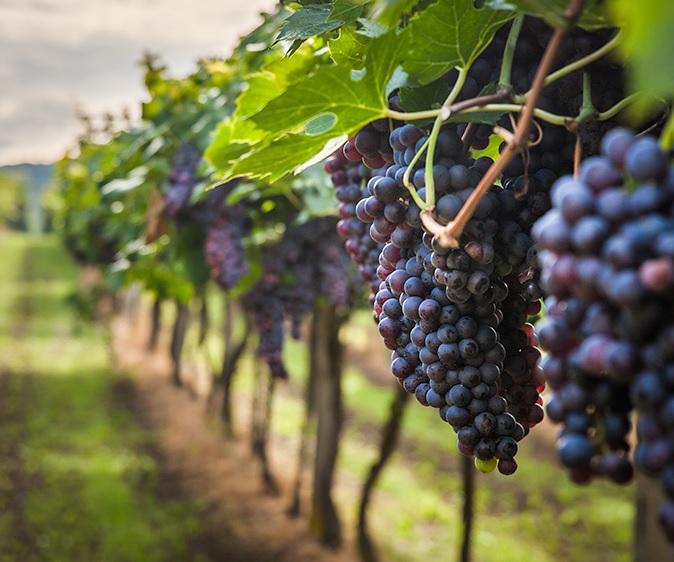 Самые распространенные сорта винограда