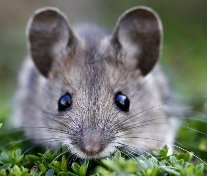 Мор для мышей и крыс