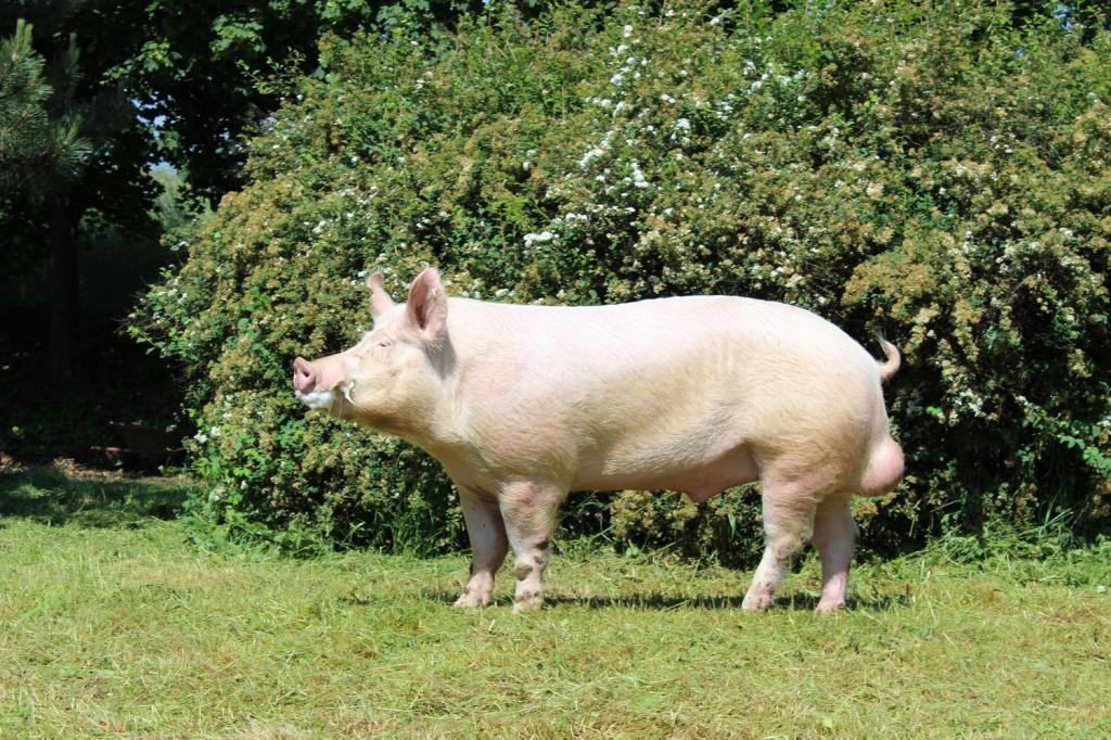 Картинки больших свиней
