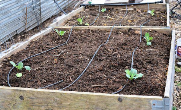 Посадка капусты в открытый грунт: особенности ухода и выращивания