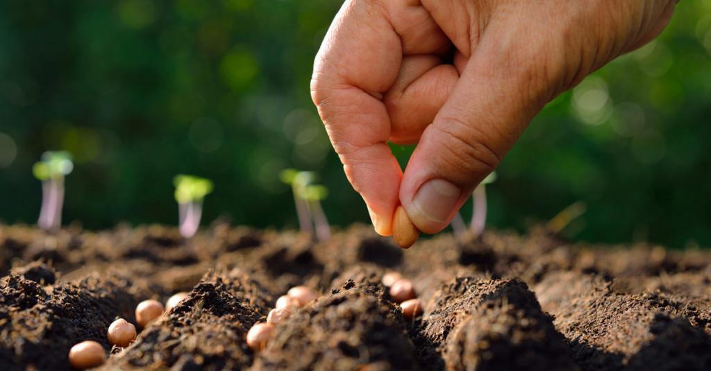 подготовка семян гречихи к посеву