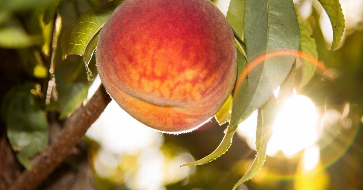 10 лучших сортов персика  рейтинг 2020 года топ 10