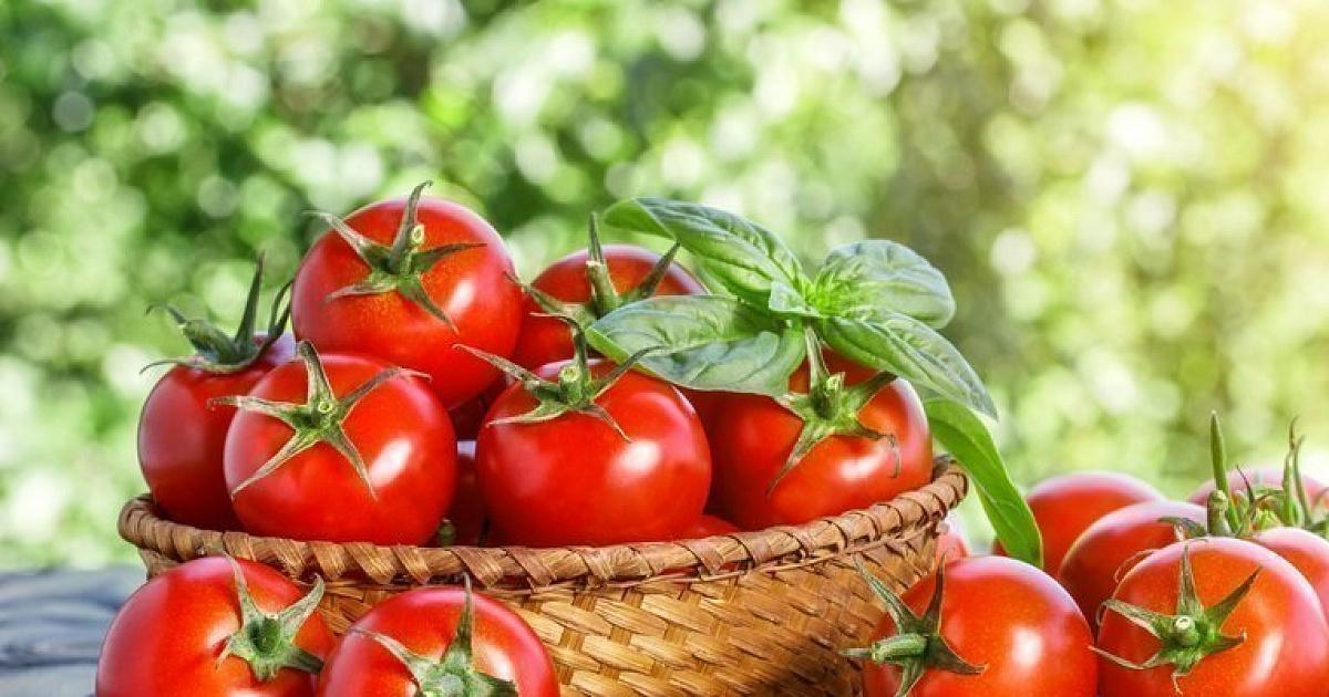 Сорта для помидор для теплицы из поликарбоната: лучшие томаты с фото