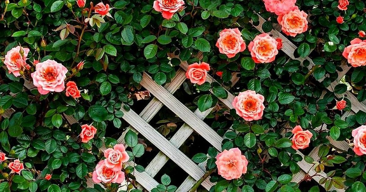 Розы для урала и сибири каталог сортов