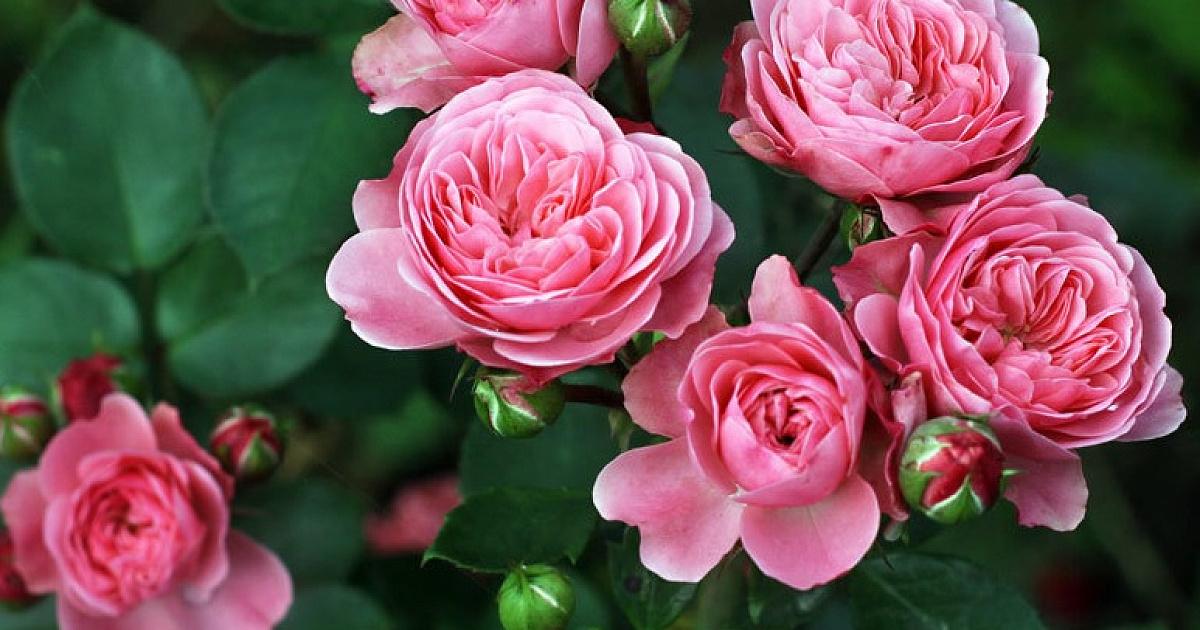 Как выглядит роза флорибунда
