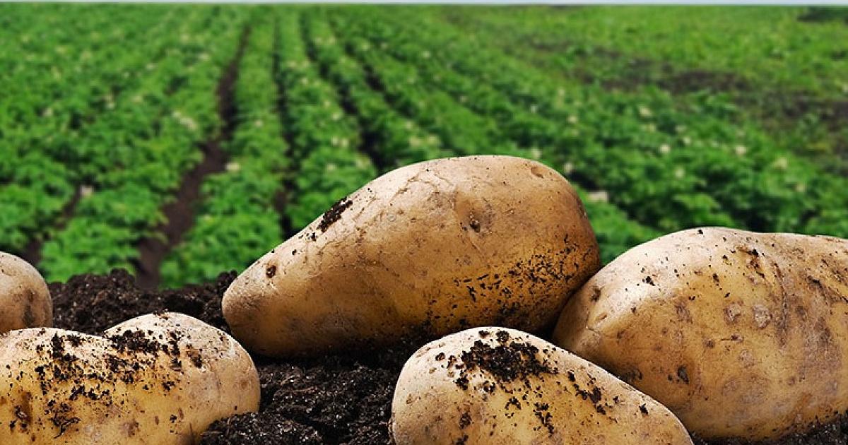 Картофель сорт супер нива